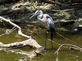Big Blue by Foxfire66, Photography->Birds gallery