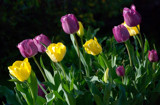 Now, the Tulips! by djholmes, Photography->Flowers gallery