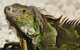 Iguana by Paul_Gerritsen, photography->reptiles/amphibians gallery