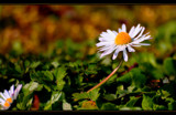 Daisy Daisy, give me your answer do! by JQ, Photography->Flowers gallery
