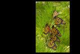 Migrating monarchs 2 by wheedance, photography->butterflies gallery