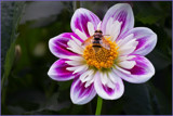 Dahlia with Bee by Ramad, photography->flowers gallery