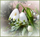 Spring Snowdrops by LynEve, photography->flowers gallery