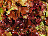 Red Romaine Paisley by paramedyc, Photography->Food/Drink gallery