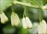Solomon's Seal by LynEve, photography->flowers gallery