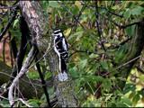Woodpecker 2 by dwdharvey, Photography->Birds gallery