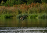 A distant Catch by barnstormer, Photography->Birds gallery