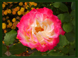 Sabbath Rose 2 by wheedance, Photography->Flowers gallery