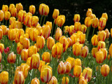 More tulips by Paul_Gerritsen, Photography->Flowers gallery