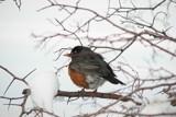 First Robin by rzettek, photography->birds gallery