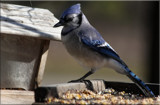 The Blue Jay #3 by tigger3, photography->birds gallery