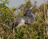 Great Blue Heron in Mating Feathers by Vivianne, Photography->Birds gallery
