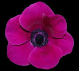 Pink Poppy by ccmerino, Photography->Flowers gallery