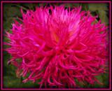 "Dahlia Series - #7 "" Moptop"" by trixxie17, photography->flowers gallery"