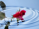drowned rose by Dehli, Photography->Manipulation gallery