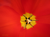 Tulip Up Close by nmsmith, photography->flowers gallery