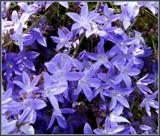 Blue Waterfall Serbian Bellflower by trixxie17, photography->flowers gallery