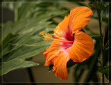 Big Ol' Orange Foofy by Jimbobedsel, photography->flowers gallery