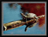Painted Turtle 2 by gerryp, Photography->Reptiles/amphibians gallery
