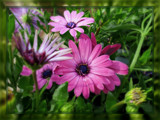 Osteospermum by trixxie17, photography->flowers gallery