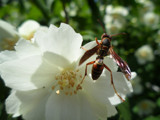 Hornet by whammy, photography->macro gallery
