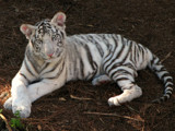 White Tiger Cub Posing by spoton, Photography->Animals gallery