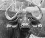 Water Buffalo by bif000, Photography->Animals gallery