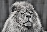 Mufasa B&W by tigger3, photography->animals gallery