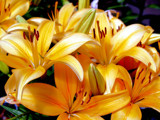 Lillies of the 'Sun'! by marilynjane, Photography->Flowers gallery