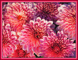 Mums Aglow by paramedyc, Photography->Flowers gallery