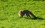 Red Fox by SEFA, photography->animals gallery