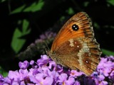 A welcome guest by Si, Photography->Butterflies gallery