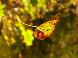 Accent of golden autumn by oliala, Photography->Macro gallery