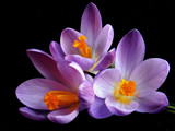 Purple crocus by Dehli, Photography->Flowers gallery