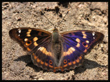 Purple Emperor by ekowalska, Photography->Butterflies gallery