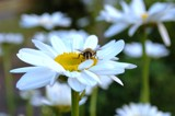 Daisy with a Bee by Photo2runner, photography->flowers gallery