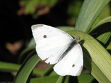 Sugar by Hottrockin, Photography->Butterflies gallery