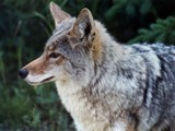The coyote by lsdsoft, Photography->Animals gallery