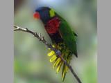 Lorikeet Landing by spoton, Photography->Birds gallery