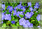 Periwinkle Vine Groundcover by trixxie17, photography->flowers gallery