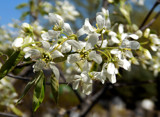 'Autumn Brilliance' Serviceberry by trixxie17, photography->flowers gallery