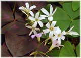 Shamrock Flowers by trixxie17, photography->flowers gallery