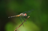 dragonfly by fivepatch, photography->insects/spiders gallery