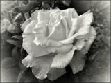 Just a Reminder by LynEve, photography->flowers gallery