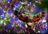 Hummingbird Moth by tigger3, photography->action or motion gallery