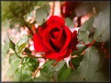 Anniversary Rose by Dunstickin, photography->flowers gallery
