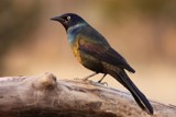 Return of the Grackle by egggray, Photography->Birds gallery