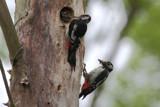 Woodpeckers by Paul_Gerritsen, Photography->Birds gallery