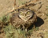 Burrowing Owl by garrettparkinson, photography->birds gallery