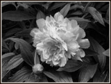B/W Peony Challenge by icedancer, contests->b/w challenge gallery